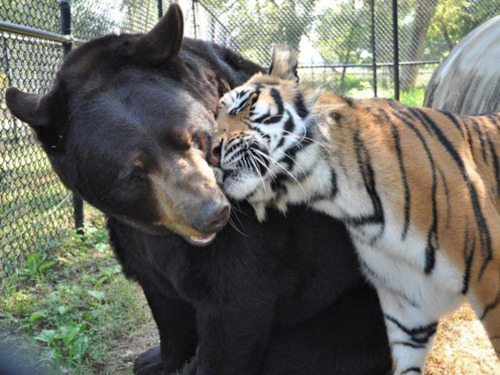 Bear Tiger Love