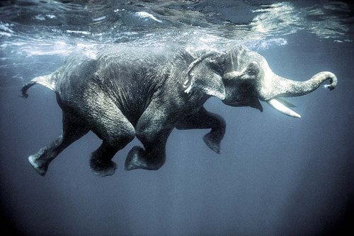 Swimming elephants in the Andaman Islands