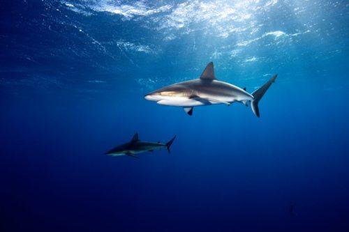Caribbean Reef Sharks - Jardines de la Reina, Cuba