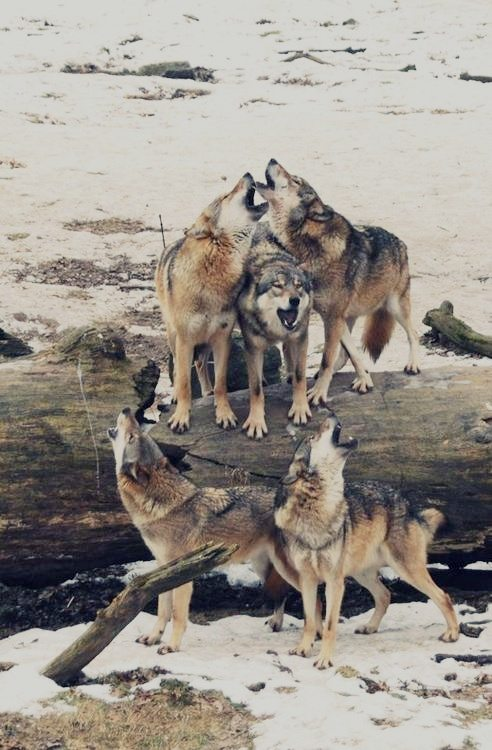 Wolf Fam