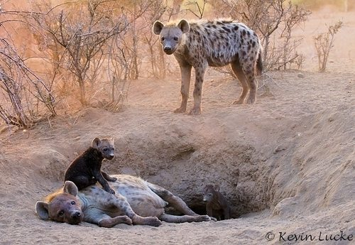 Hyena-den-by-Kevin-Luck