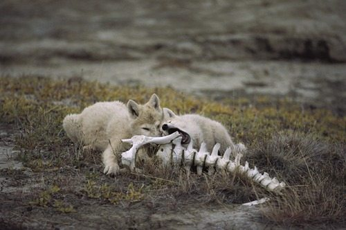 Artic Wolf Pups