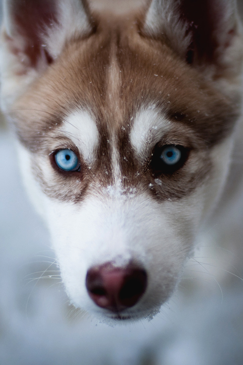 Pup eyes